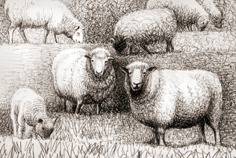 Sheep Studies by Henry Moore