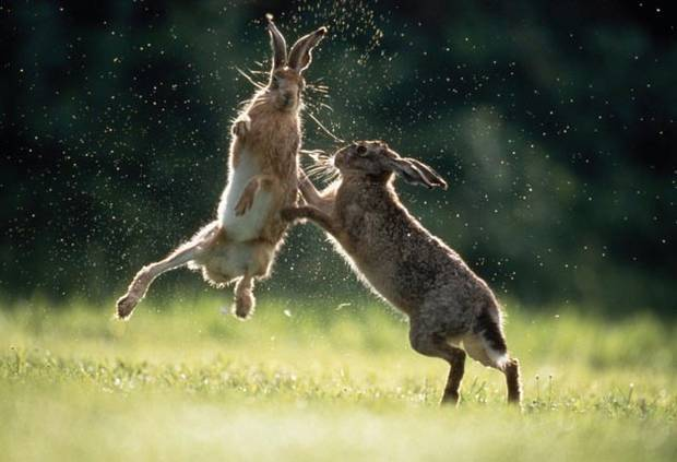 Boxing Hares (from The Independent)